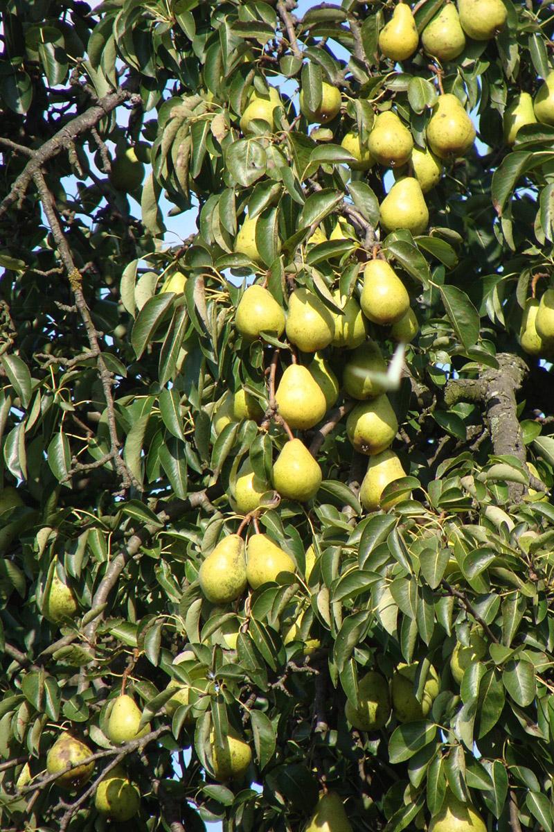 Sabes c mo se clasifican los rboles frutales - Como se podan los arboles frutales ...