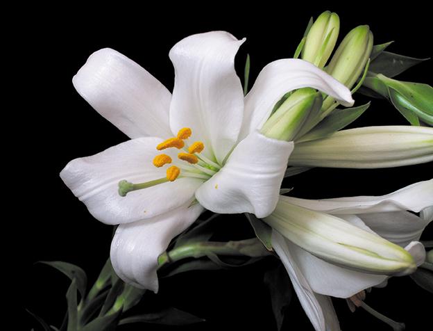 Azucena de la virgen lilium candidum lirio o vara de for Azucena plantas jardin